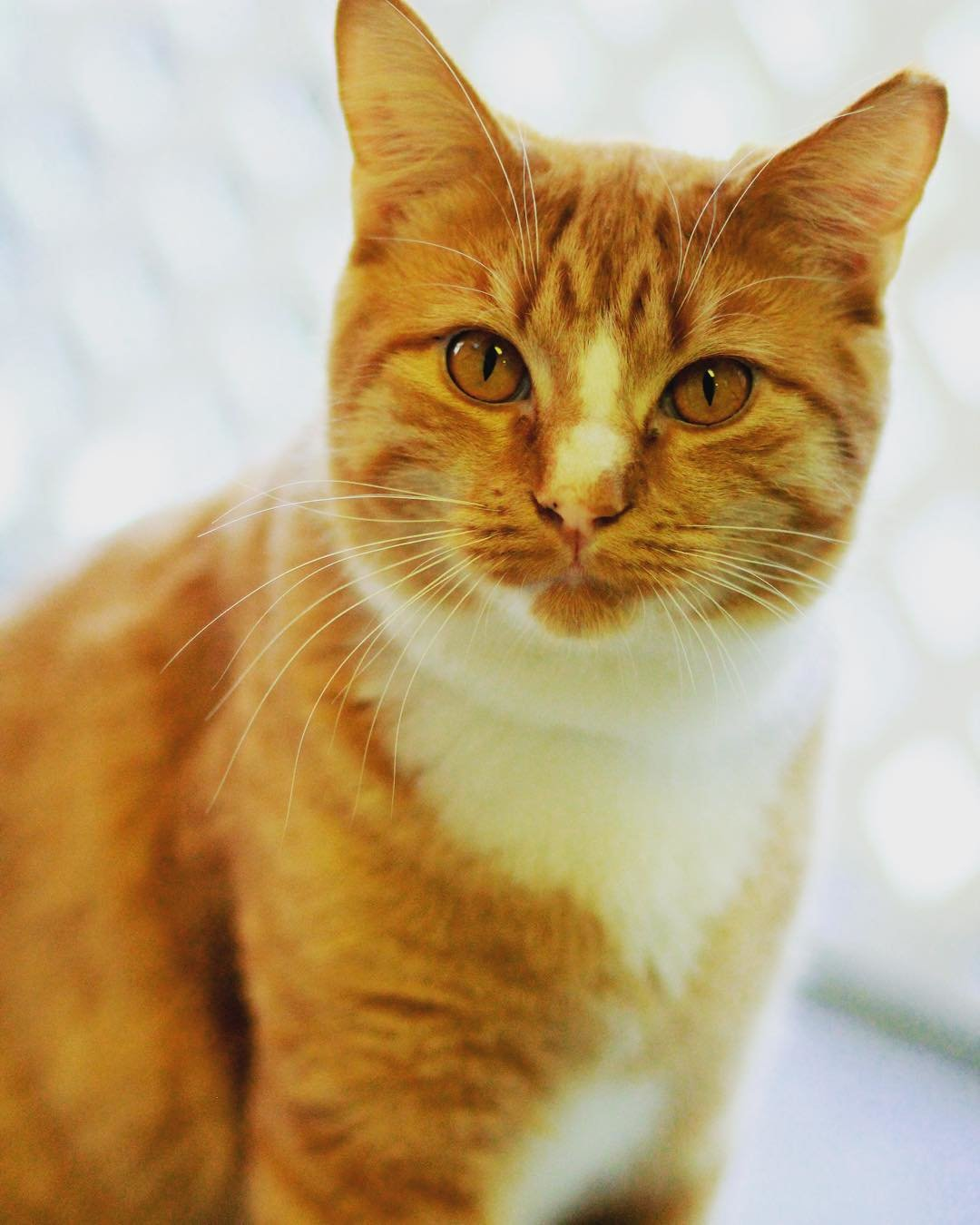 Creamsicle a 2 yr old cat for adoption at Worcester County Humane